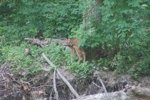 deer-standing